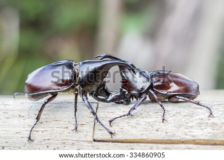 Image of Male Rhinoceros beetle are fighting on wooden with nature background Rhinoceros beetle, Rhino beetle,Fighting beetle