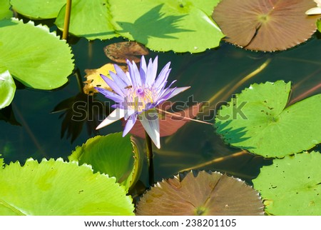 image of many  beautiful lotus flowers on water - stock photo