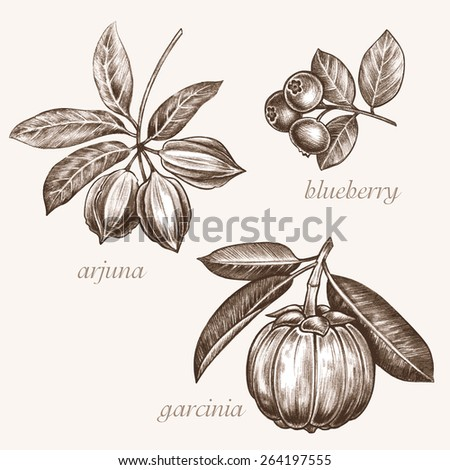 Image of medicinal herbs. Biological additives are. The illustration on the theme of healthy lifestyles and nutrition. Garcinia, blueberry, .