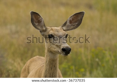 Image of mule deer taken at The Badlands National Park in South Dakota.