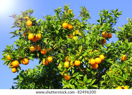 Image of orange fruits on tree - stock photo