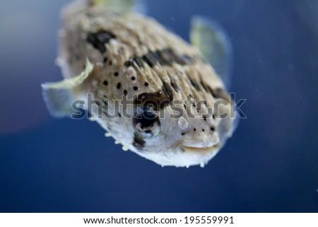 Image of Porcupine fish - stock photo