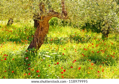 Image of red poppy flowers meadow, beautiful floral field with olive tree, countryside landscape, green lawn in the forest, spring bloom season, pretty garden, wildflower glade in the park - stock photo