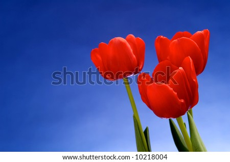 Image of red tulips against vivid blue - stock photo