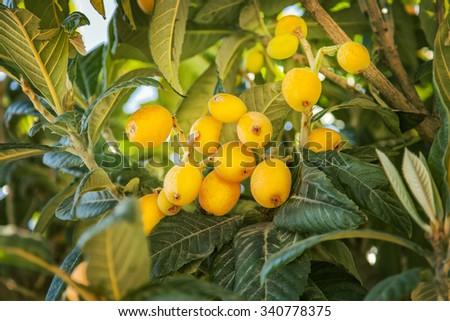 Image of ripe Loquat fruit (Eriobotrya japonica). - stock photo