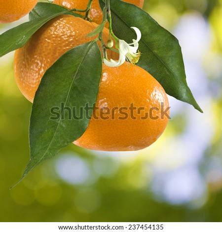 image of ripe tangerine in the garden closeup - stock photo