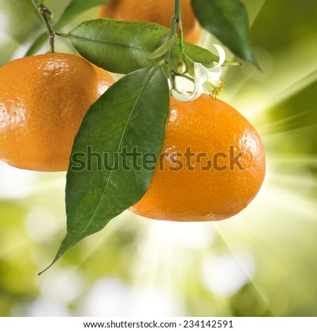 image of ripe tangerine on a green background - stock photo