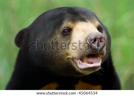 Image of sun bear at a zoo. - stock photo