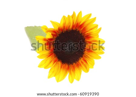 image of sunflower with leaves over white