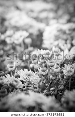 Image of Thai chrysanthemum close up.(Processed in BW Colour tone) - stock photo
