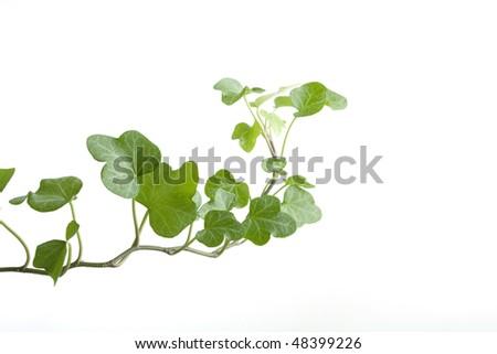 Image of the branch ivy on a white background - stock photo