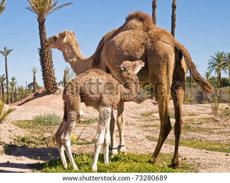 Image of the camel  and th young one taken in park in Morocco.