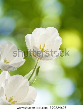 Image of white tulips over the water close-up
