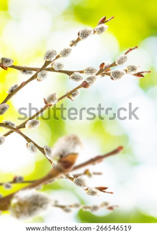 image of willow on a green background - stock photo
