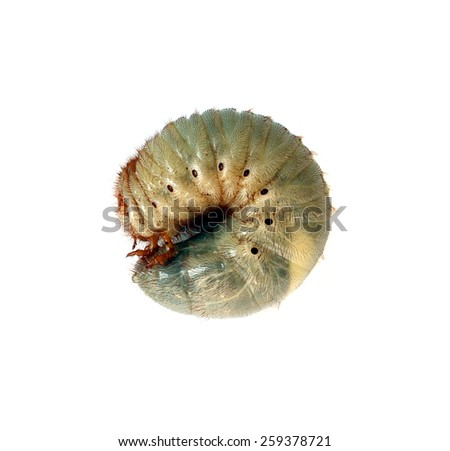 Image of worm beetle on a white background. - stock photo