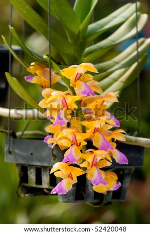 Image of yellow orchids in Thailand. - stock photo