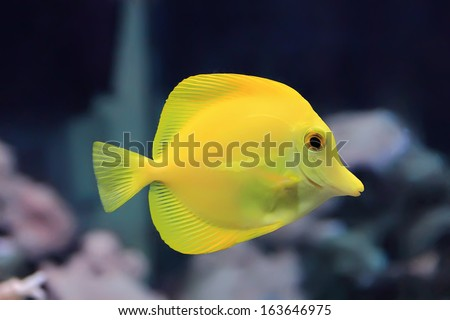Image of zebrasoma yellow tang fish in aquarium - stock photo