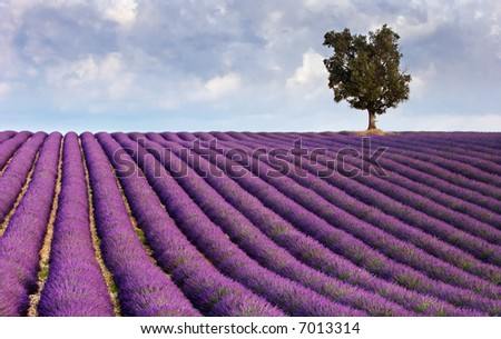 Image shows a  lavender field in Provence, France, with a lone tree in the background - stock photo