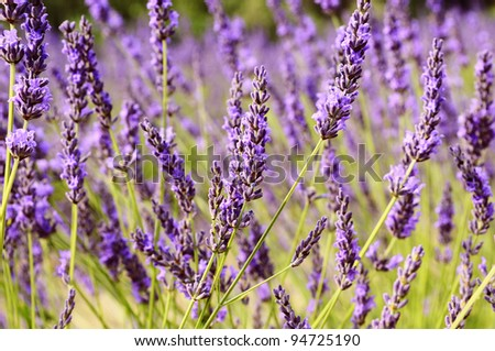 Image shows a lavender field in the region of Provence, southern France - stock photo