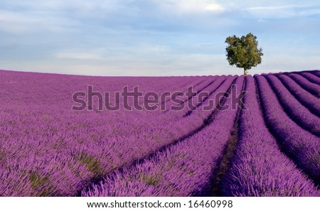 Image shows a rich lavender field in Provence, France, with a lone tree in the background [best for web use] - stock photo