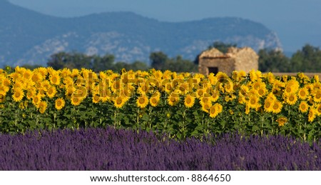 Image shows a typical colorful landscape in Provence, France. A sunflower field is combined with a lavender field in the bottom and a neglected barn in the background.