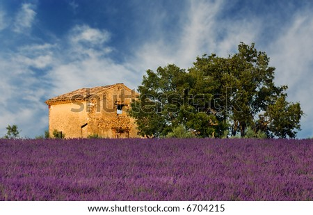 Image shows an old abandoned barn overlooking a lavender field, in the region of Provence, France - stock photo