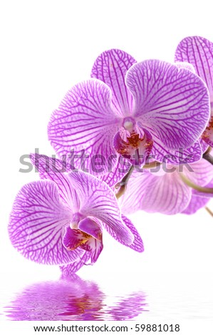 Images of the luxurious orchids on white background - stock photo