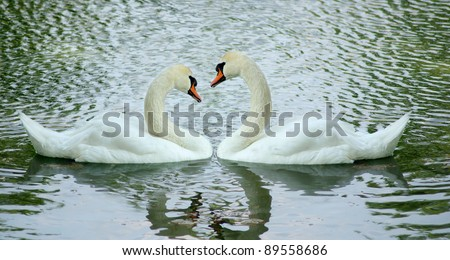 images of two swans on lake - stock photo