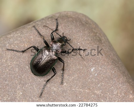 imago of calosoma inquisitor - stock photo