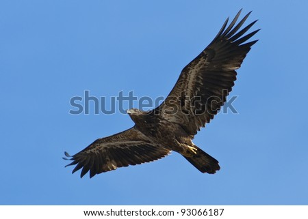 Immature Bald Eagle in Flight against a blue sky background.
