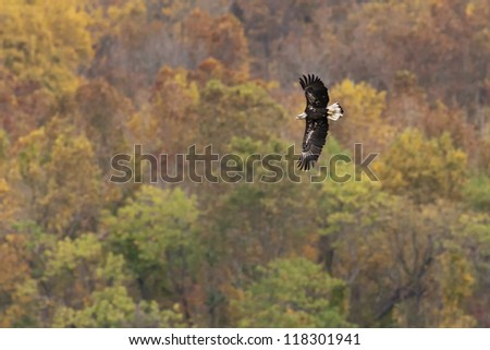 Immature Bald Eagle in flight against Autumn foliage background. - stock photo