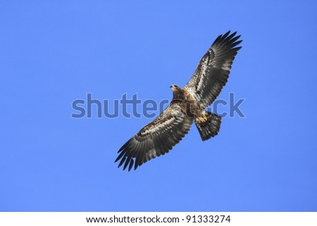 Immature Bald Eagle with Wings Spread