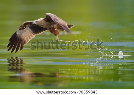 immature brahminy kite hunting in the lake - stock photo