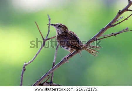 Immature Carolina Wren (Thryothorus ludovicianus)  perched on dead branches in selective focus with soft green background and copy space. - stock photo