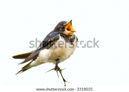 Immature Eurasian swallow with wide open beak; hirundu rustica; South Africa - stock photo