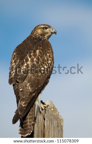 Immature (first year) Red-tailed Hawk with face covered in blood and gore after a meal - stock photo