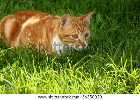 Immature ginger kitten stalking garden insect - stock photo