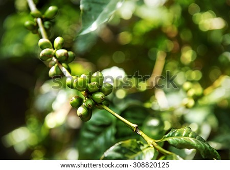 Immature green coffee cherries ont he branch which are the source of coffee beans. Arabica. Ethiopia. Africa. - stock photo