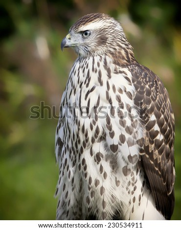 Immature, juvenile northern goshawk close up. - stock photo