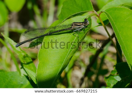 Immature male Powdered Dancer Damselfly perched on a leaf.