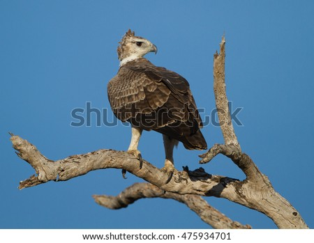 Immature Martial Eagle (Polemaetus bellicosus) on the lookout from a dead tree
