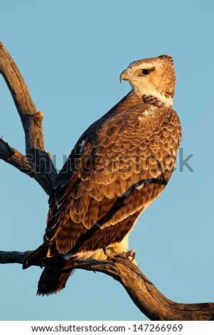 Immature Martial eagle (Polemaetus bellicosus) perched on a branch, South Africa  - stock photo