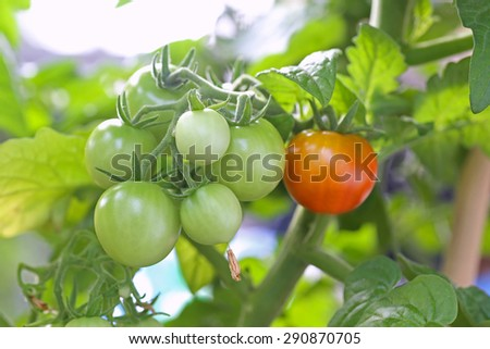 Immature plum tomatoes growing on vine in garden in natural light - stock photo