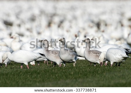 Immature  Snow Geese Resting During Migration South in Fall - stock photo