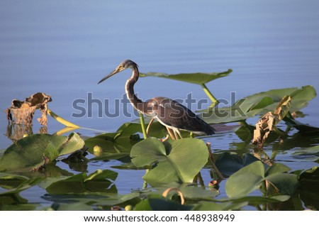 Immature Tricolored Heron Walks on Lilly Pads in Search of It's Next Meal - stock photo