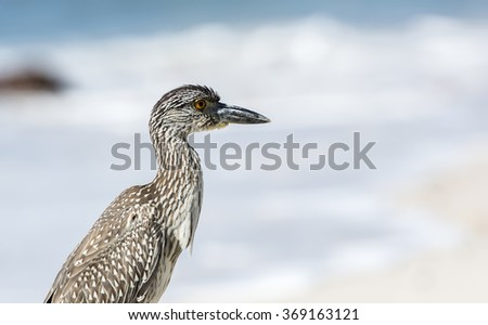 Immature Yellow-crowned Night-Heron (Nyctanassa violacea) on the Beach in Mexico