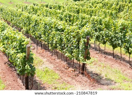 immense Vineyard with clusters of grapes for the production of red wine - stock photo