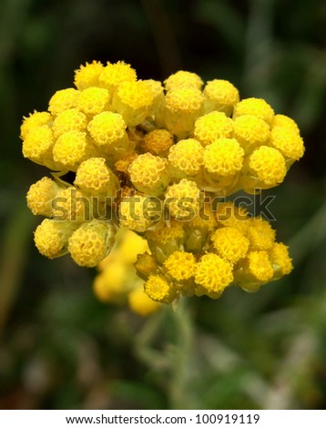 Immortelle aka Curry Plant and Dwarf Everlast - stock photo