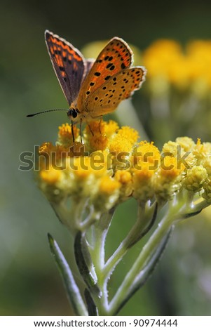 Immortelle - Helichrysum arenarium is also known as dwarf everlast with butterfly Sooty Copper (Lycaena tityrus) - stock photo