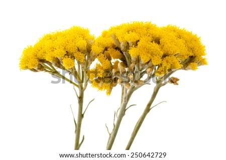 Immortelle (Helychrysum) isolated on white background - stock photo